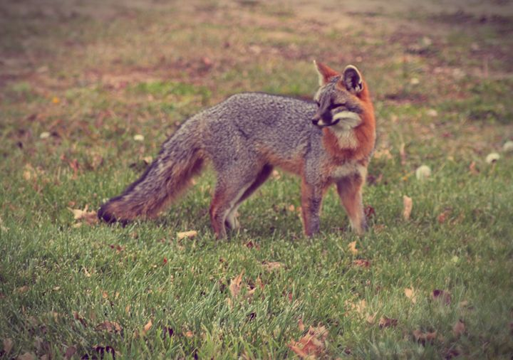 Grey Fox - phos illuminare
