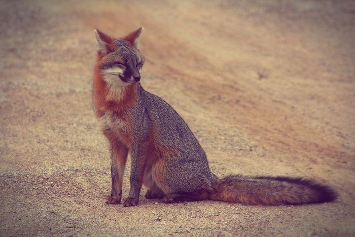 Smiling-Grey Fox - phos illuminare