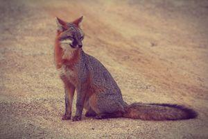 Smiling-Grey Fox