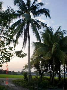 afternoon coconut tree