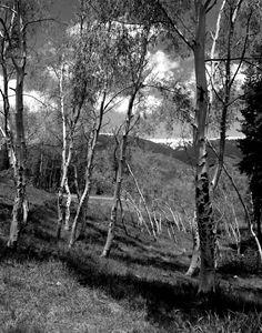 Aspen trees 025