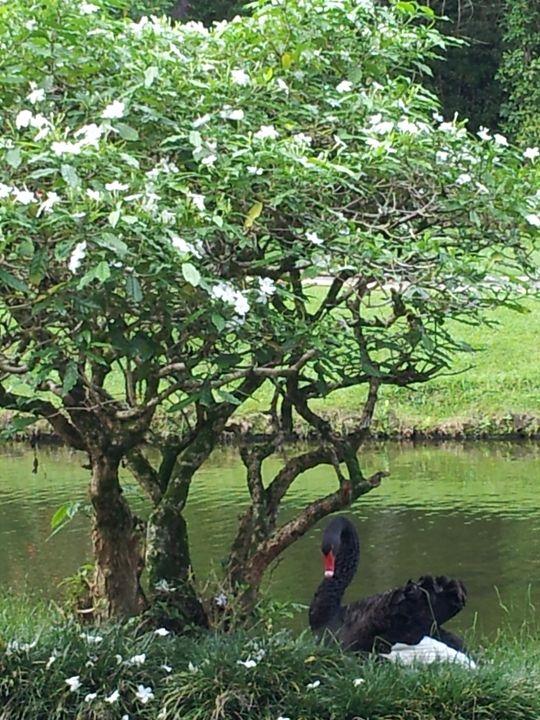 Black Swan - Boogiba