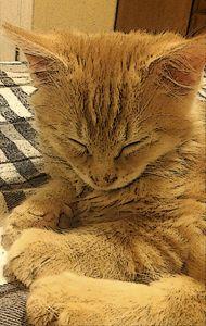 Drousy Kitten