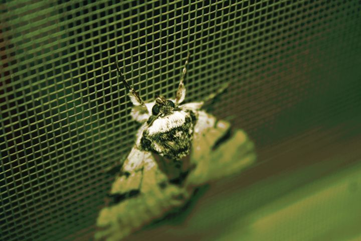 Green Moth - Austun's Photography