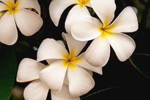Yellow and White Plumeria