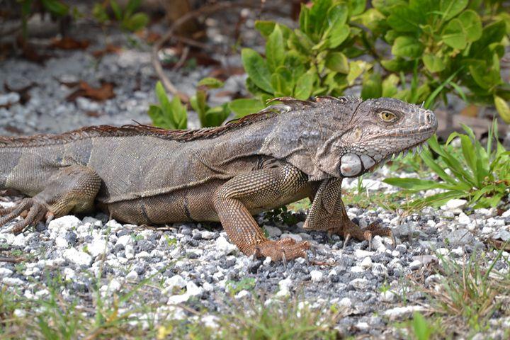 Wild Iguana - Fine Art Photography, Nature and More!