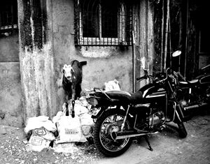 Goatercycle Black and White