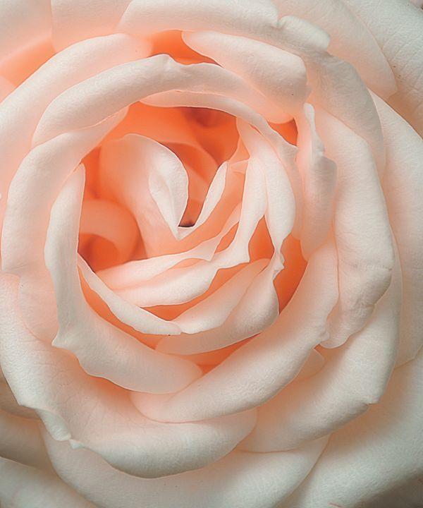 An English Rose - Christine56