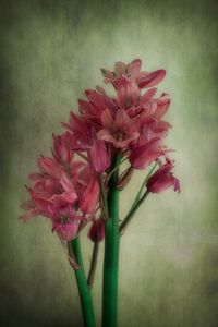 Vintage Bluebells In Pink - Christine56