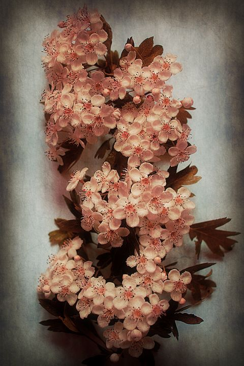 Vintage Blossom In Creamy Pink - Christine56