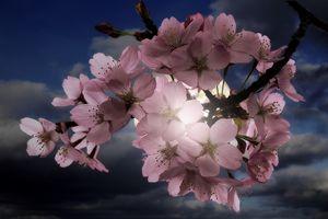 Blossom In Moonlight