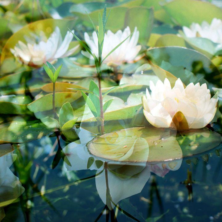 weiße blühende seerosen in naturlich - Flowers by Alaya Gadeh