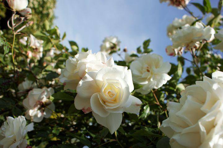 Cream White Rambler Rose - Flowers by Alaya Gadeh