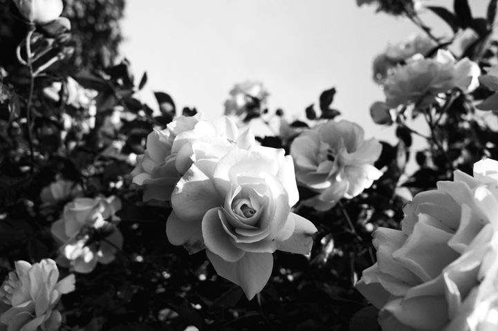 White Roses Black & White - Flowers by Alaya Gadeh
