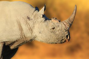Black Rhino Bull, Endangered Species
