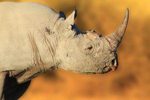 Black Rhino Bull, Endangered Species - Living Wild - Dries Alberts