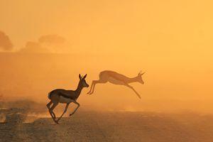 Springbok - Wildlife Silhouette