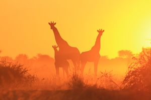 Giraffe Silhouette - Wildlife Beauty