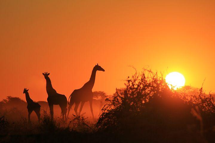 Giraffe - Sunset Wonder of Beauty - Living Wild - Dries Alberts