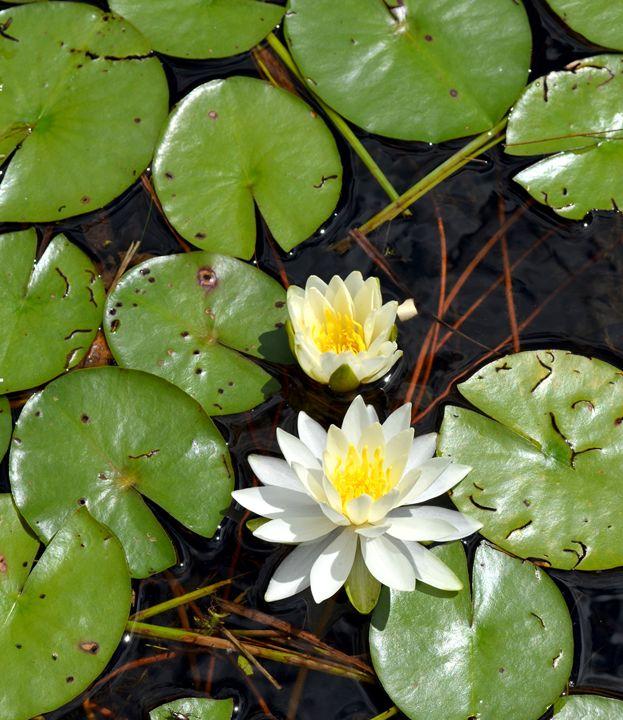 Lily Pond - tiffanycassanophotography