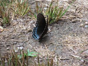 Spicebush Swallowtail Butterfly Walk