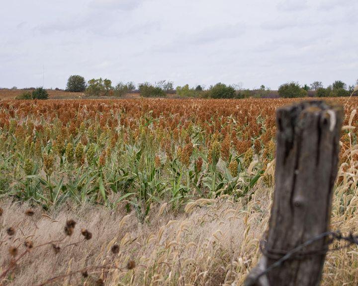 Field of Milo - Sean Williams' Photography