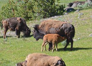 Bison Calf Nursing (YNP) - Mark Scott Thompson