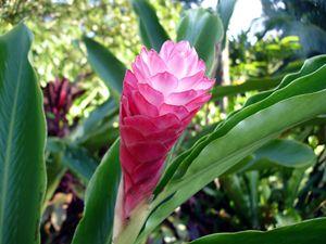Pink 'lightbulb' flower