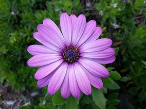 Violet Purple Sicilian Chrysanthemum