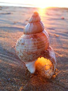 Corkscrew Seashell