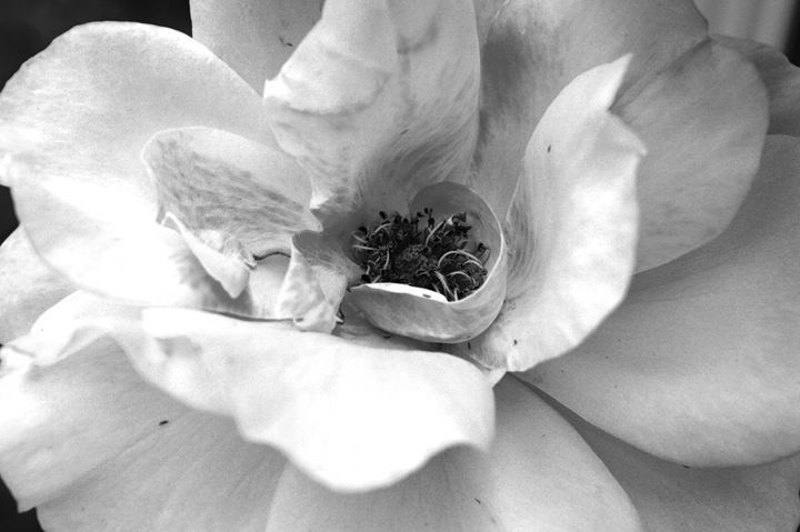 Black and White Rose - Timeless Art On Canvas