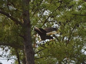 Bald Eagle in Flight No.2 - Timeless Art On Canvas