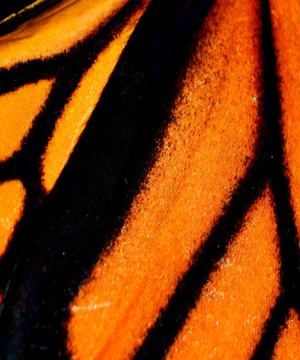 Butterfly Wing 2 - Timeless Art On Canvas