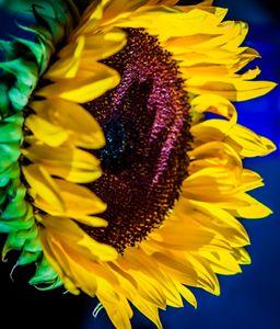 Morning Sunflower