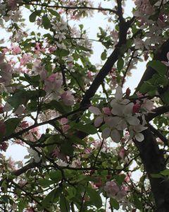Spring Petals II