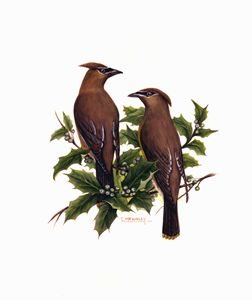 Cedar waxwings - wildlife in watercolor