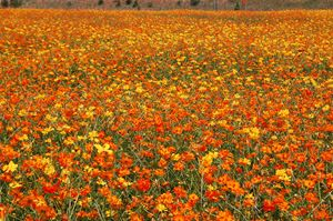 Flowered Field