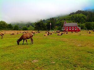 Nor Cal Elk