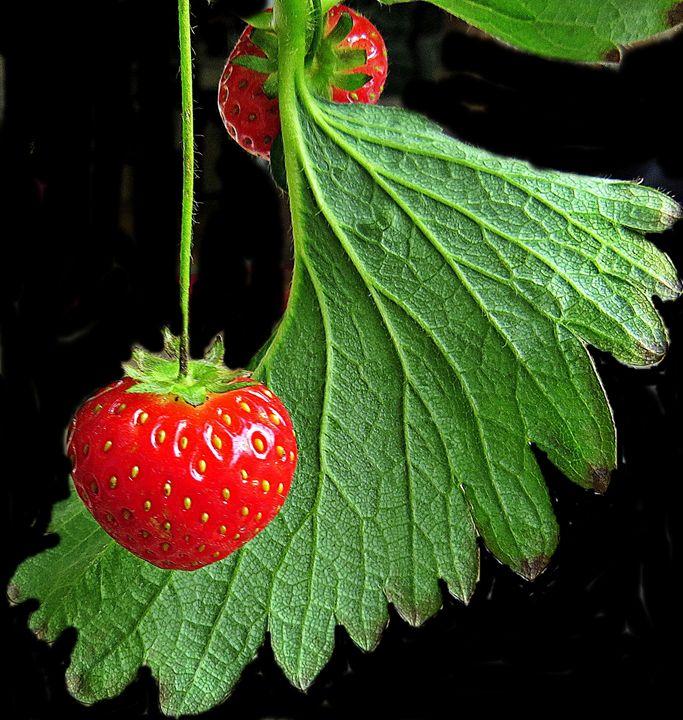 strawberries - Gallery Florette