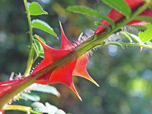 young thorns of a rose