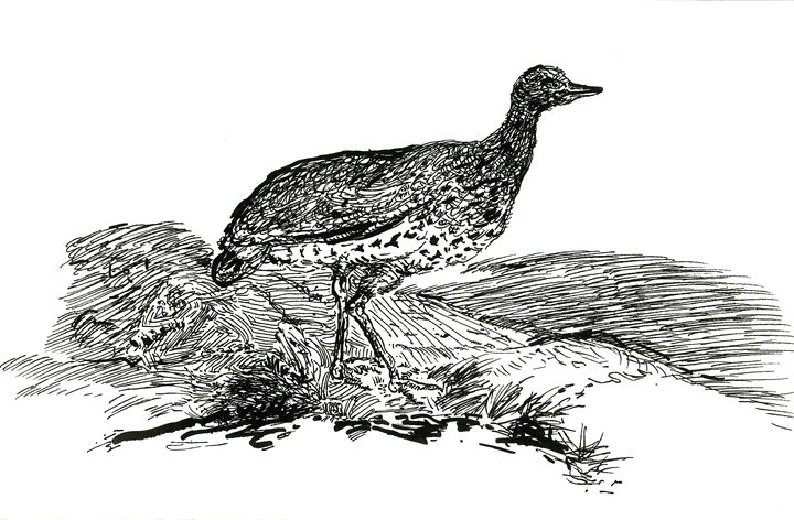 Little Bustard - Bewick's - WalkerStudio