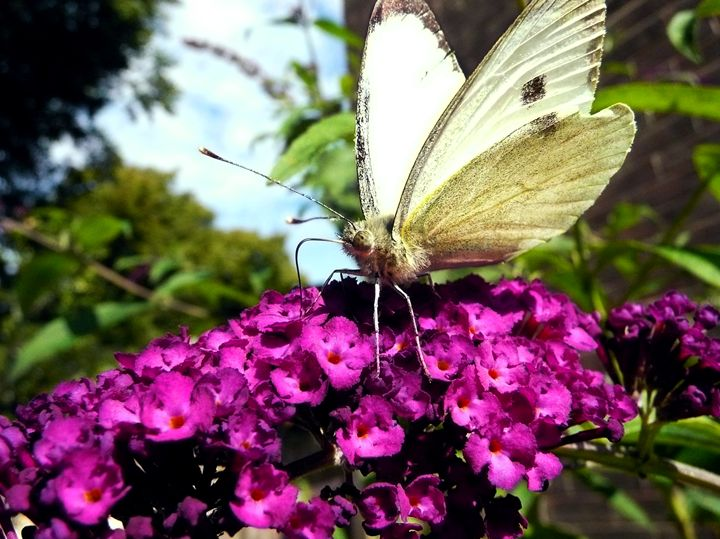Cabbage White Butterfly - Charlotte