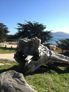 Fallen Tree at Pebble Beach