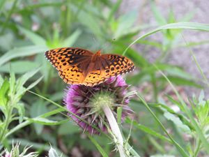 Orange Butterfly on Thistle