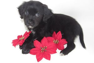 Puppy with Christmas Poinsettias