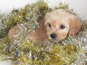 Puppy Laying in Tinsel