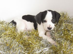 Black and White Puppy in Tinsel