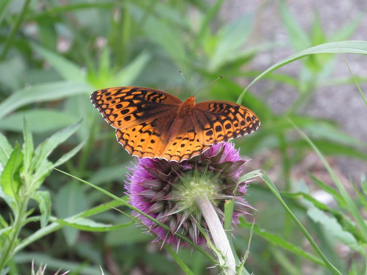 Butterfly on thistle - Alexies Nicals