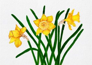 Daffodil Flowers Watercolour Artwork
