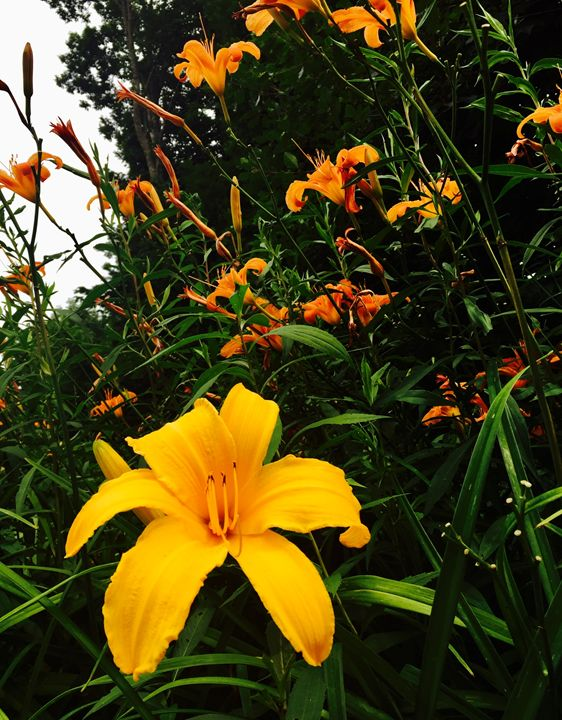 Daylilies - Brogan Fine Art